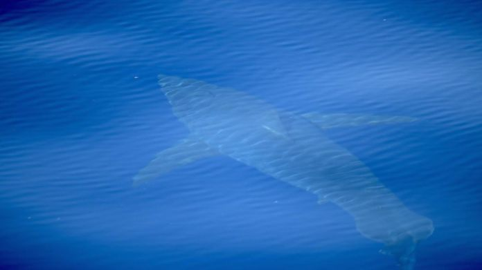 A great white shark spotted off the coast of Majorca by conservation group Alnitak Mission. Pic: Alnitak  First great white shark spotted in Spanish waters for 30 years skynews shark great white majorca 4349153