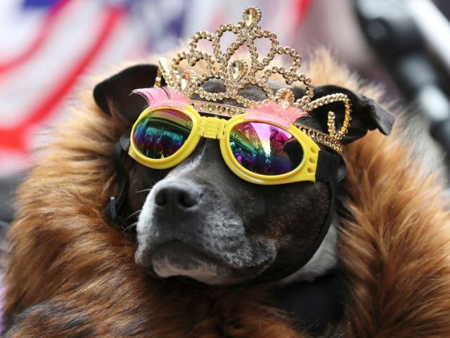 A dog in a tiara and sunglasses awaits the Queen and Meghan