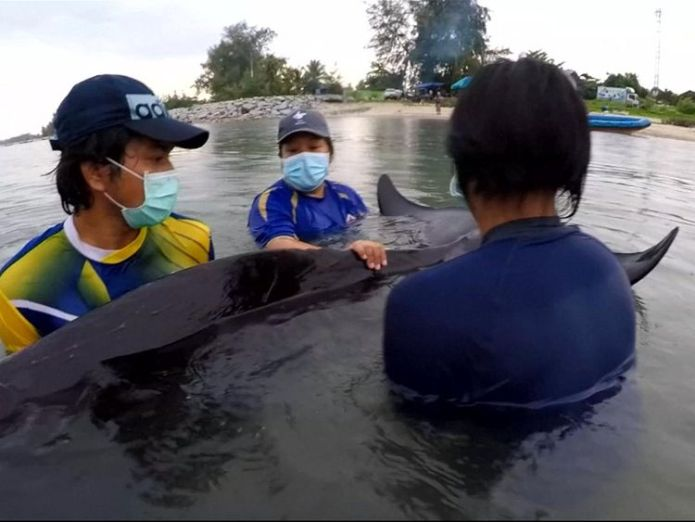 The whale died on Friday despite the efforts of rescuers  Thai campaigners call for government action after whale dies from eating 80 plastic bags Thai campaigners call for government action after whale dies from eating 80 plastic bags skynews pilot whale plastic bags 4327112