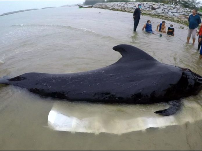 The small pilot whale was found near Thailand's border with Malaysia  Thai campaigners call for government action after whale dies from eating 80 plastic bags Thai campaigners call for government action after whale dies from eating 80 plastic bags skynews pilot whale plastic bags 4327113