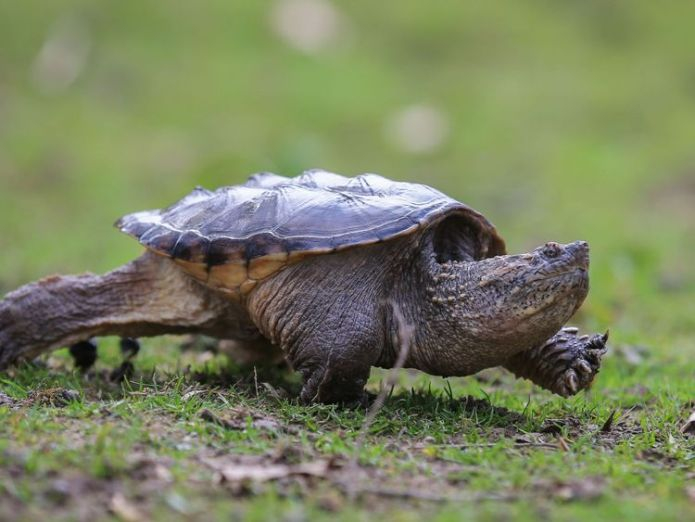 Snapping turtles are considered an invasive species in Idaho Teacher charged after 'feeding puppy to snapping turtle' in front of students Teacher charged after 'feeding puppy to snapping turtle' in front of students skynews snapping turtles robert crosland 4327024