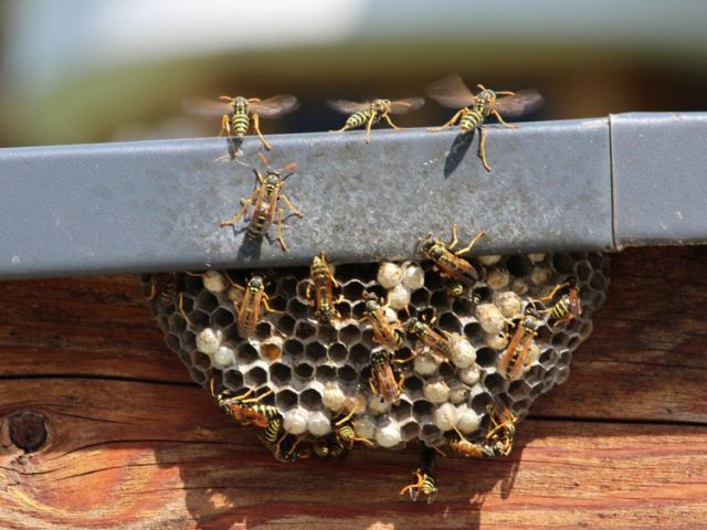 Wasps nests could become larger as the hot weather continues