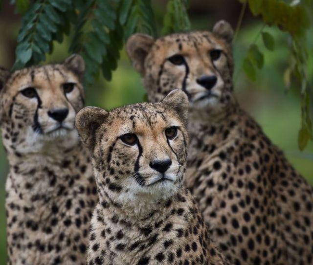 Cheetahs React Inside Their Enclosure At The Zoo Parc Of Beauval In Saint Aignan