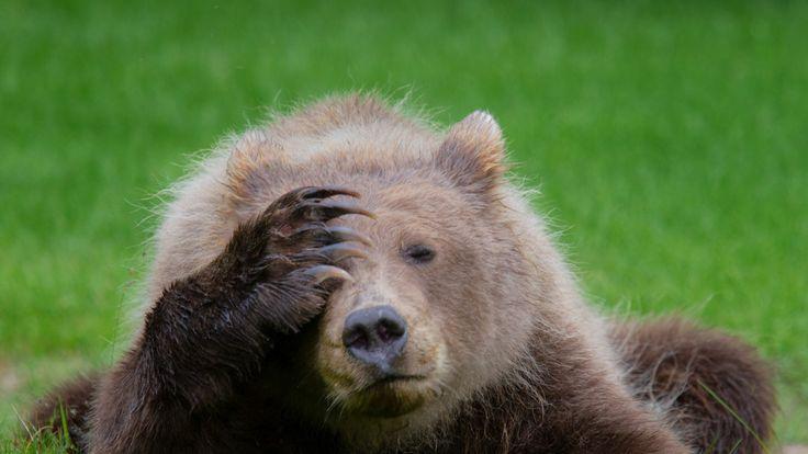 Coastal Brown Bear Cub  with headache by Valtteri Mulkahainen