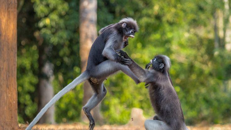 Two dusky leaf monkeys fight, by Sergey Savvi