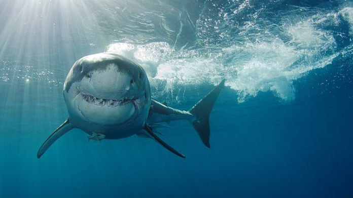 Scientists believe studying how great whites are able to resist diseases could help 'fight cancer and age-related diseases'