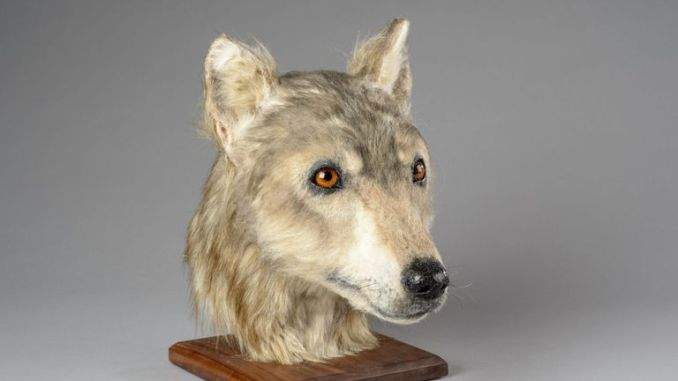 A model made from the skull of a dog found in an ancient mound on Orkney
