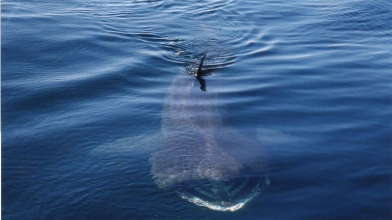 Basking sharks are found in the waters off the Isle of Scilly
