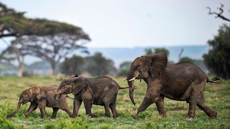 Picture taken on December 30, 2012 shows elephants calves playing at the Amboseli game reserve, approximately 250 kilometres south of Nairobi. Drawing to its close today, this year 2012, according to the International Fund for Animal Welfare, IFAW, stands out as the ''annus horriblis'' (Latin for 'year of horrors') for the World's largest land mammal with statistics standing at 34 tonnes of poached ivory having been seized, marking the biggest ever total of confiscated ivory in a single year, ou