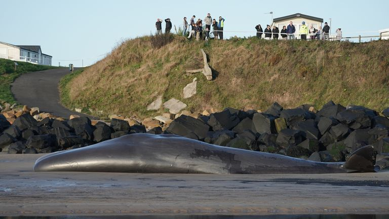 Members of the public view the body of a sperm whale which washed up at Newbiggin-by-the-Sea in Northumberland on Friday.