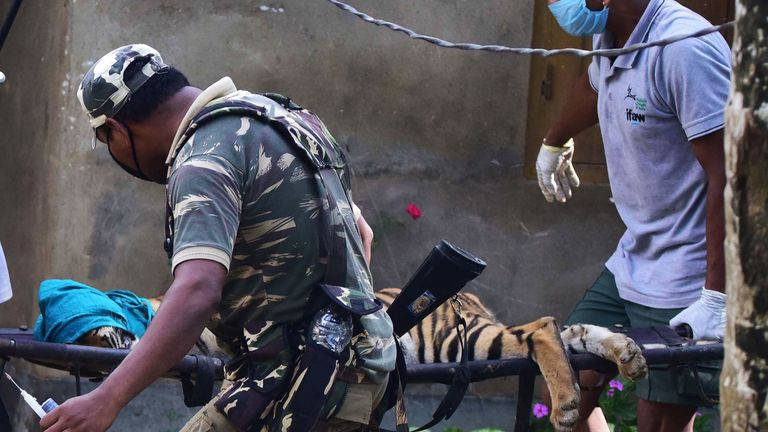 Forest officials carry a tranquillised tiger on a stretcher after it strayed from Kaziranga National Park due to the flooding