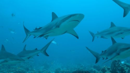 Experts warn HALF A MILLION sharks 'could be killed for Coronavirus vaccine'