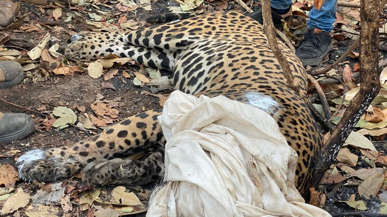 Many jaguars who survived the fire storm are now badly injured