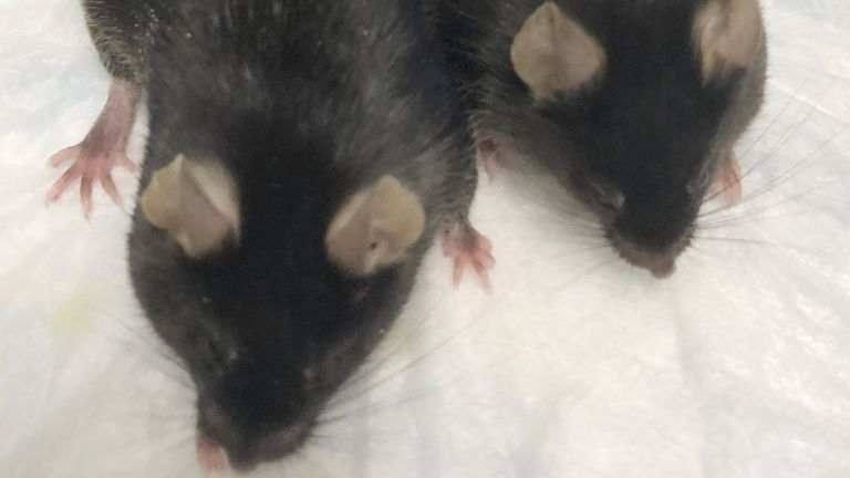 This August 2020 photo provided by Dr. Se-Jin Lee shows a normal mouse and a
