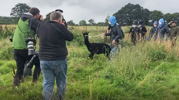 Workers from the Animal and Plant Health Agency lead Geronimo the Alpaca at Shepherds Close Farm in Wooton Under Edge, Gloucestershire, before the animal was taken away on a trailer to an undisclosed location.