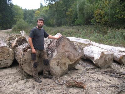 A Slovakian conservationist examines felled beech trees in Poloniny National Park.