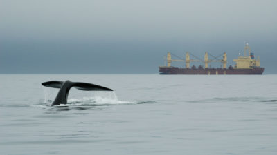 A right whale in the vicinity of a large vessel in the Bay of Fundy.