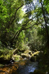 Old-Growth Forest in the Mata Atlantica