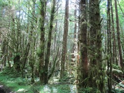 Old growth forest in Naikoon Provincial Park
