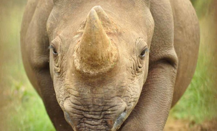 Rhinos: They depend on you and me