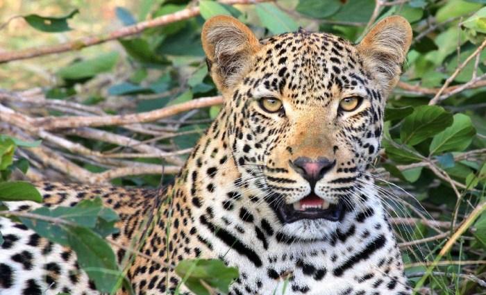 Becks Safari Lodge: Stalking Leopards on Safari