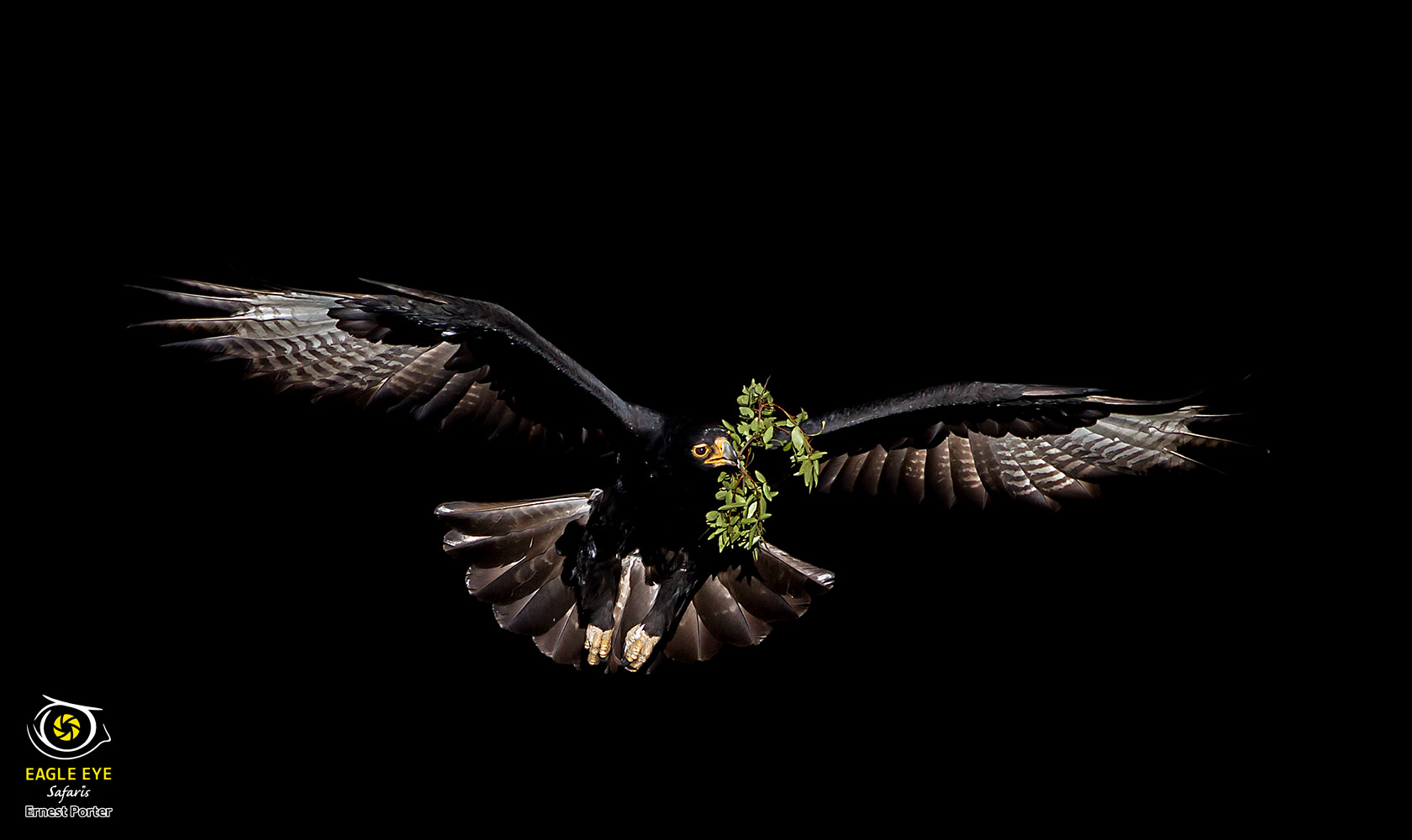 Emoyeni on her way to the nest (Verreaux's Eagle)
