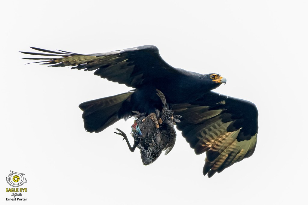 Emoyeni with prey (Verreaux's Eagle & Helmeted-Guineafowl)