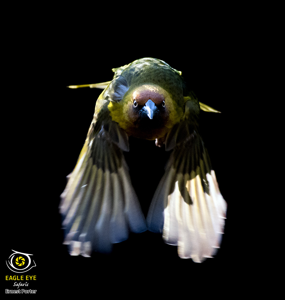 Head on (Cape Weaver)