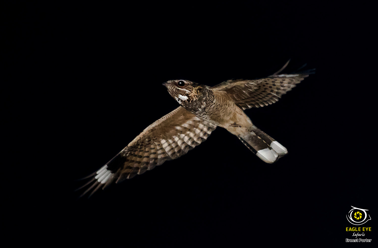 Night Flight (Rufous-cheecked Nightjar)