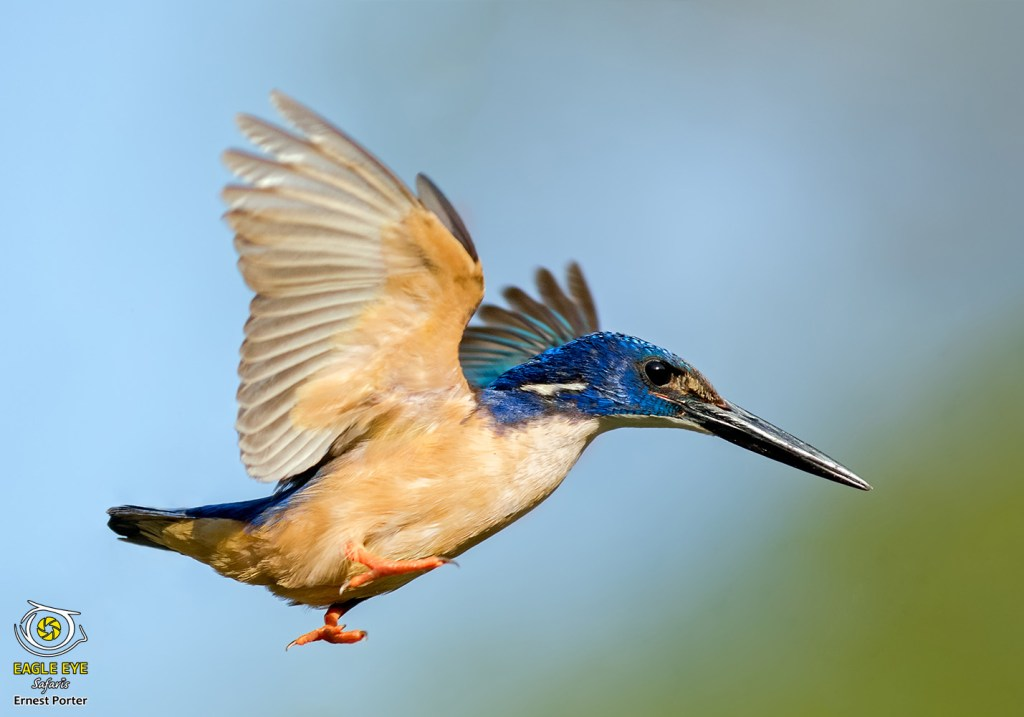 Take Off (Half-collared Kingfisher)