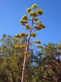 Century Plant.