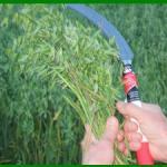 Hand Scythe used in oat harvest - the kind used to harvest lavender.