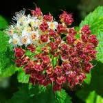 Pacific Ninebark - Physocarpus capitatus