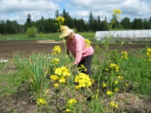 Ellen hoeing garlic May 2015