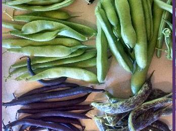 Beans- A Beautiful flower and veggie.  Fresh and dried, we have 17 varieties