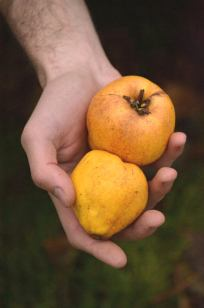 The delightful quince
