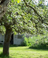 One of the homestead orchard trees