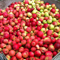 Basket of apples from the farm.