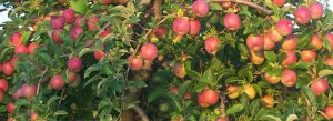 Gorgeous apples!!!