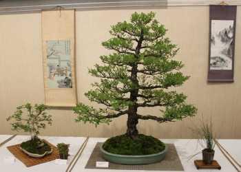 bonsai trees sit on a table