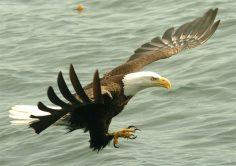 close-up-eagle