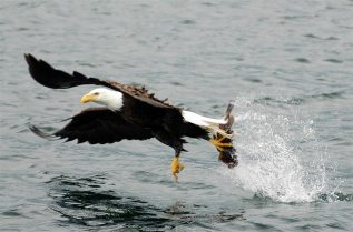 eagle-catching-fish