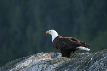 eagle-on-rock