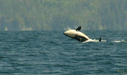 orca-jump
