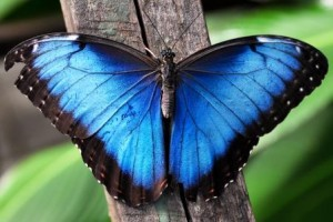 Blue Morpho for EPQ