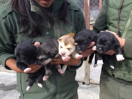 Young sled dog pups