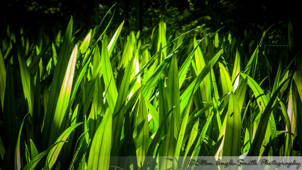 Sun lighting up large blades of grass