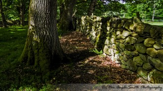 Oak tree casts a shadow on a dry stone wall