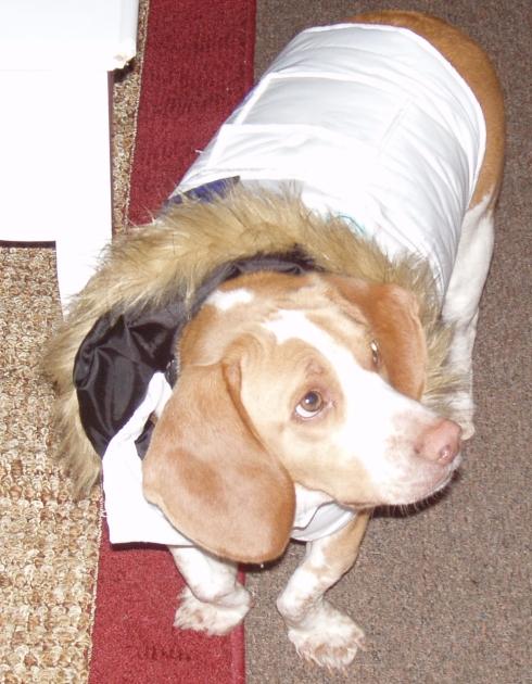 My lemon beagle Daedalus in his new winter coat