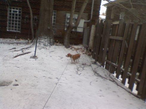 My lemon beagle Daedalus in the snow